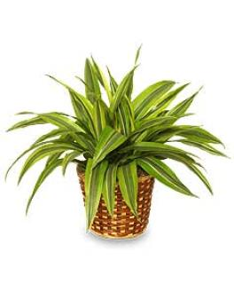 - STRIPED DRACAENA